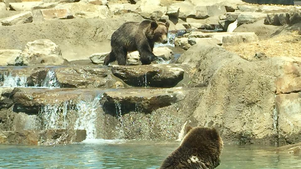 Bear cubs playing in the water at the Oakland Zoo