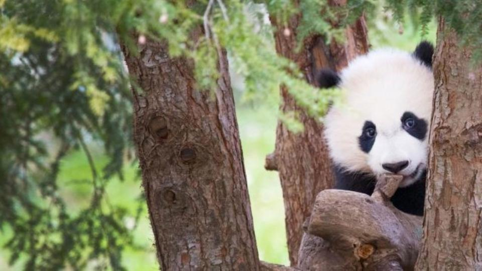 Bei Bei the panda in a tree
